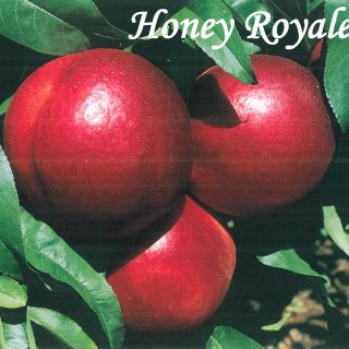 Honey Royale