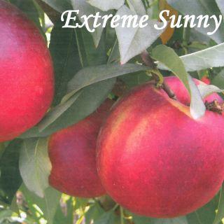 EXTREME SUNNY