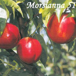 Morsianna 51