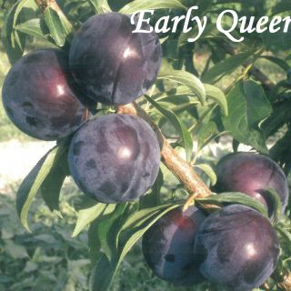 Early Queen
