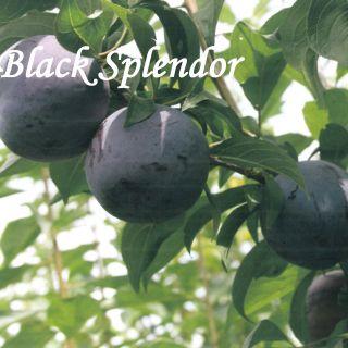 BLACK SPLENDOR
