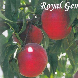 Royal Gem
