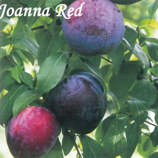 JOANNA RED