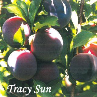 TRACY SUN