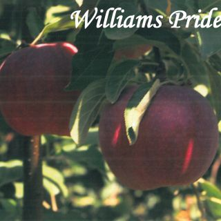Williams Pride