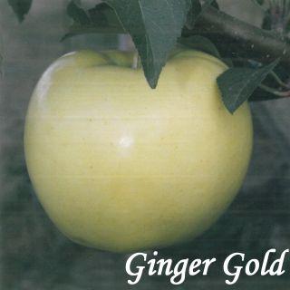GINDER GOLD