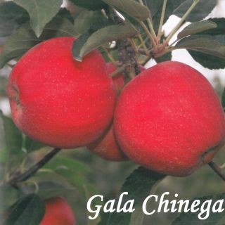 GALA CHINEGA