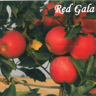 RED GALA