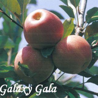 GALAXY GALA