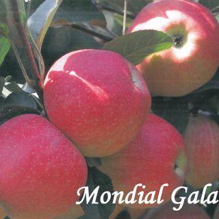MONDIAL GALA