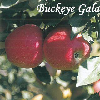 BUCKEYE GALA