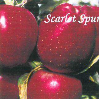 SCARLET SPUR