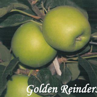 GOLDEN REINDERS