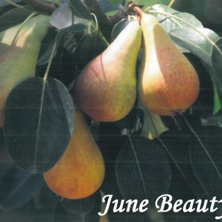 JUNE BEAUTY