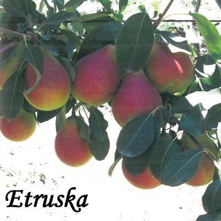 Etruska