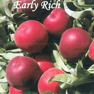 EARLY RICH