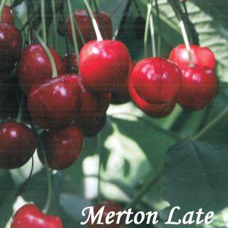 Merton Late