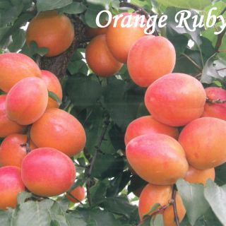 Orange Ruby