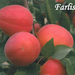 Farlis