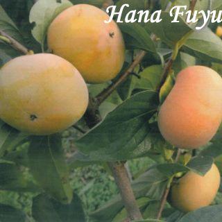 ХАНА ФУЮ (Hana Fuyu)