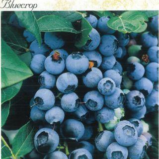 БOROWINKA BLUECROP