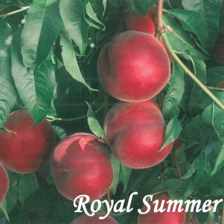 ROYAL SUMMER