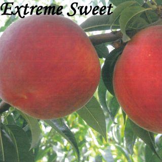 EXTREME SWEET
