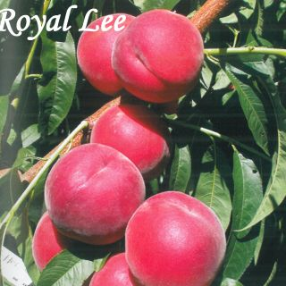 ROYAL LEE