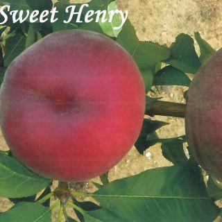 SWEET HENRY