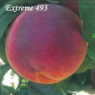 EXTREME 493