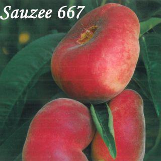 Sauzee 667