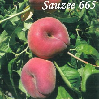 SAUZEE 665