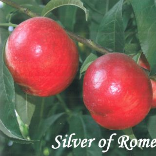 SILVER OF ROME