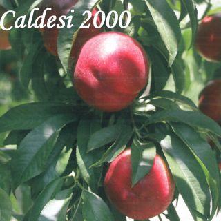 CALDESI 2000