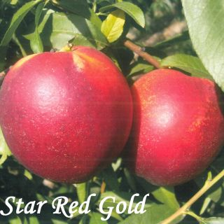 STAR RED GOLD
